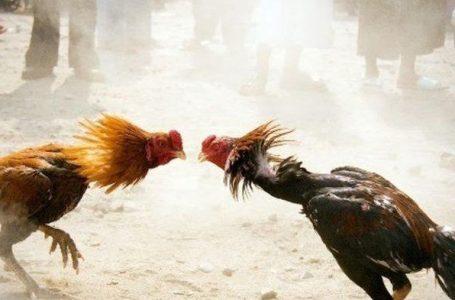 Penjudi Sabung Ayam Diamankan, Kades Uma Beringin: Terimakasih Pak Polisi