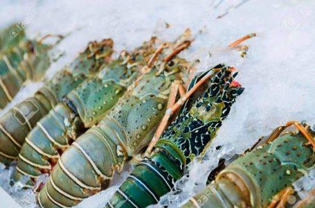 GPLI Dorong NTB Sebagai Pusat Budidaya Lobster Nasional